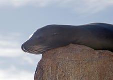"""Leone marino di California che riposa sul  di Point†del """"the o sul """"Pinnacle del  di End†delle terre di Los Arcos in Ca immagini stock libere da diritti"""