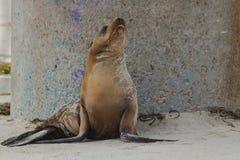 Leone marino di California sulla spiaggia con la base concreta del bagnino Stand come fondo Immagini Stock Libere da Diritti