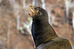 Leone marino di Galapagos Fotografia Stock Libera da Diritti