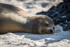 Leone marino di Galapagos addormentato sulla spiaggia sabbiosa Immagini Stock Libere da Diritti