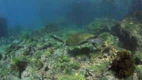 Leone marino di Galapagos e tartaruga di mare verde subacquea stock footage