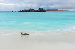 Leone marino di Galapagos, isole Galapagos, Ecuador immagine stock