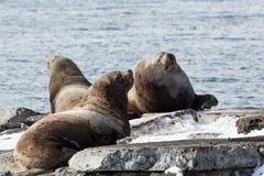 Leone marino di Steller della colonia di corvi Kamchatka, baia di Avacha Immagini Stock