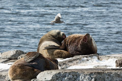 Leone marino di Steller della colonia di corvi o leone marino nordico Penisola di Kamchatka Fotografia Stock Libera da Diritti