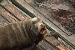 Leone marino di urlo Immagini Stock
