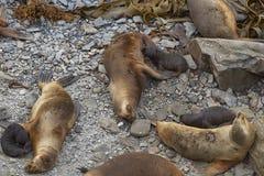 Leone marino e cucciolo del sud su Falkland Islands Fotografie Stock Libere da Diritti