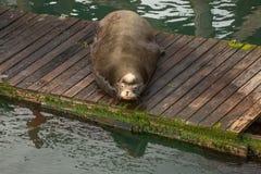 Leone marino grasso Immagine Stock Libera da Diritti