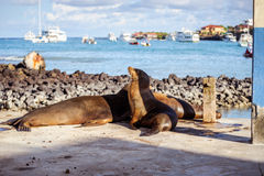 Leone marino nelle isole di Galpagos Fotografie Stock Libere da Diritti