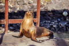 Leone marino nelle isole di Galpagos Immagini Stock