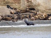 Leone marino patagonian, flavescens di Otaria, Patagonia, Cile Immagini Stock Libere da Diritti