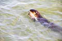 Leone marino selvaggio in acque fotografie stock libere da diritti