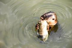 Leone marino selvaggio in acque fotografia stock libera da diritti