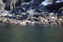 Leone marino, sonno, roccia immagini stock