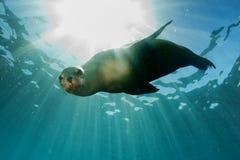 Leone marino subacqueo esaminandovi fotografia stock