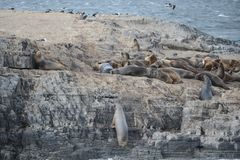 Leone marino sudamericano, Immagini Stock