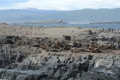 Leone marino sudamericano, flavescens di Otaria, colonia crescente e haulout sul piccolo esterno Ushuaia degli isolotti appena Fotografie Stock Libere da Diritti