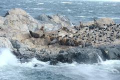 Leone marino sudamericano, flavescens di Otaria, colonia crescente e haulout sul piccolo esterno Ushuaia degli isolotti appena Fotografia Stock