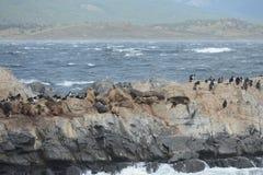 Leone marino sudamericano, flavescens di Otaria, colonia crescente e haulout sul piccolo esterno Ushuaia degli isolotti appena Immagini Stock Libere da Diritti