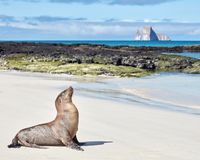 Leone marino sulla spiaggia di sabbia bianca in Galapagos con la roccia dell'estrattore a scatto immagine stock libera da diritti