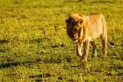 Leone in Masai Mara Fotografie Stock