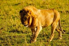 Leone in Masai Mara Fotografia Stock