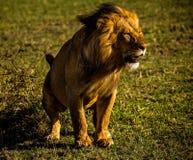 Leone in Masai Mara Immagini Stock Libere da Diritti