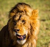 Leone in Masai Mara Immagine Stock Libera da Diritti