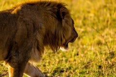 Leone in Masai Mara Immagini Stock
