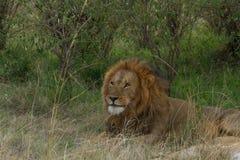 Leone in Masai Mara Fotografia Stock Libera da Diritti