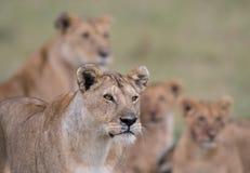 Leone in masai Mara Game Reserve fotografie stock