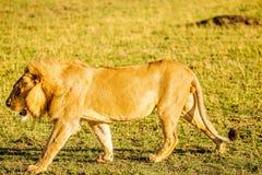 Leone in masai Mara (Kenia) Fotografia Stock