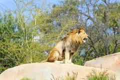 Leone maschio immagine stock