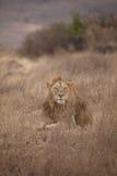 Leone maschio Immagini Stock