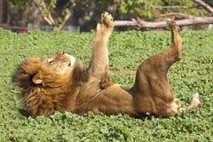 Leone maschio Fotografie Stock Libere da Diritti
