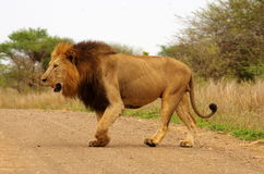 Leone maschio Fotografia Stock