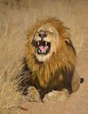 Leone maschio Fotografie Stock