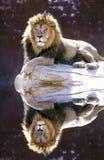 Leone maschio ad un waterhold fotografia stock libera da diritti