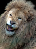Leone maschio bianco arrabbiato Fotografia Stock