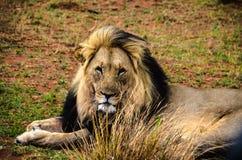 Leone maschio - capo di orgoglio Immagini Stock