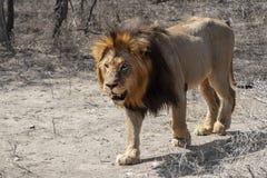 Leone maschio che cammina nel cespuglio immagini stock libere da diritti