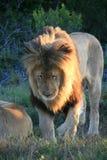 Leone maschio che cammina sull'erba verde con i fiori porpora nel Sudafrica immagine stock libera da diritti