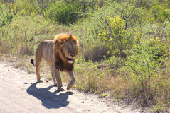 Leone maschio che cammina sulla strada Fotografia Stock