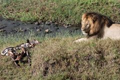 Leone maschio che custodice la carcassa guasto della zebra Fotografie Stock Libere da Diritti