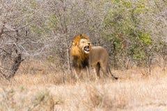 Leone maschio che rugge fotografia stock libera da diritti