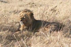 Leone maschio che si trova giù Fotografie Stock