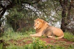 Leone maschio che si trova sul monticello in legno Immagini Stock Libere da Diritti