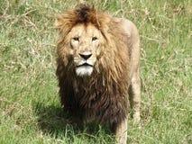 Leone maschio che sta nell'erba Fotografia Stock Libera da Diritti