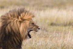 Leone maschio di urlo Immagine Stock