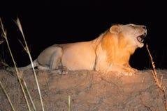 Leone maschio di urlo durante lo safari-Zambia di notte fotografia stock libera da diritti