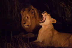 Leone maschio e femminile alla notte Immagine Stock